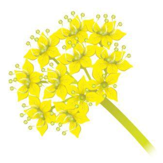Ferula narthex inflorescence