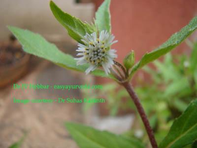 Bhringaraja Eclipta alba - flower