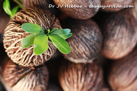 Alstonia scholaris seeds