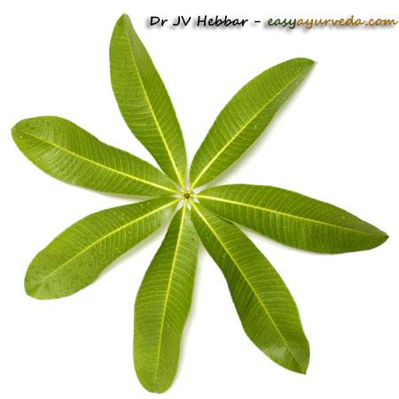 Alstonia scholrais leaves