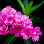 Nerium indicum – Karavira – Benefits, Usage, Side Effects – Ayurveda details