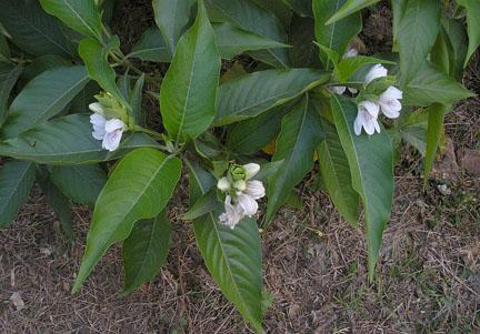 Vasaka - Adhatoda vasica Uses, Side Effects, Research