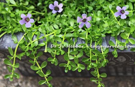 Brahmi plant with flower