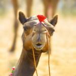 Camel Milk Benefits- Ayurveda Details