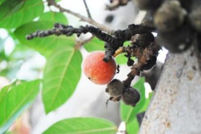 Udumbara: Cluster Fig Home Remedies: Sore Throat, Gastritis
