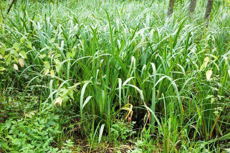 bach acorus calamus Like wet soil calamus--sweetflag, acorus calamus americanus, easily at sand mountain herbscom sweetflag calamus and acorus, agri turki, azakegeri, bach.