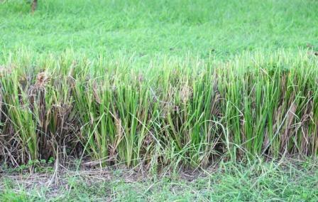 Khus Khus grass
