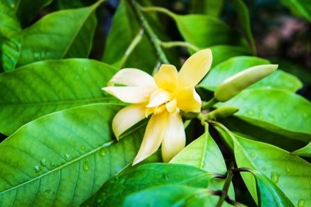 Michelia Champaca Uses Research Side Effects