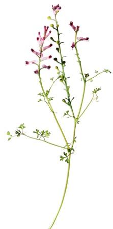 Fumaria officinalis - Fumitory