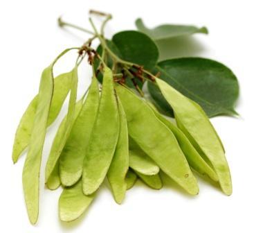Dalbergia Sissoo Shimshapa Uses Research Side Effects