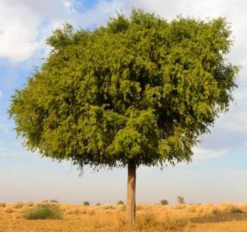 Shami Tree, Banni Tree: Prosopis cineraria Uses