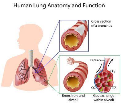 lungs alveoli bronchiole
