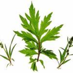 Artemisia vulgaris: Mugwort Benefits, Remedies, Research, Side Effects