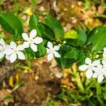 Yuthika Jasminum auriculatum: Benefits, Remedies, Research, Side Effects