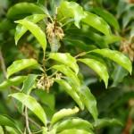 Bakula – Mimusops elengi: Benefits, Remedies, Research, Side Effects