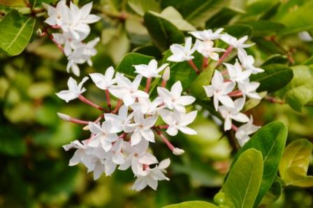 karonda flower