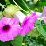 Vruddhadaru Argyreia speciosa: Uses, Remedies, Research