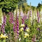 Foxglove Digitalis purpurea: Uses, Research, Remedies, Side Effects