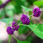 Priyangu Callicarpa macrophylla: Uses, Research, Remedies