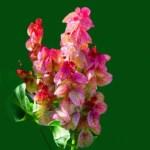 Chukra Rumex vesicarius Uses, Medicines, Remedies, Research