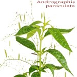 Kalamegha (Bhunimba) Andrographis paniculata: Uses, Side Effects