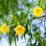 Yellow Oleander Simple Remedies: Black Heads, Swelling