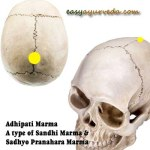 Adhipati Marma: Location, Components, Effect Of Injury