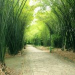 Bamboo (Bambusa bambos) Uses, Research, Medicines, Side Effects
