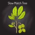Kumbhi Tree (Careya abrorea) Uses, Research, Medicines, Side Effects