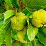 Elephant apple – Dillenia indica: Uses, Research, Remedies