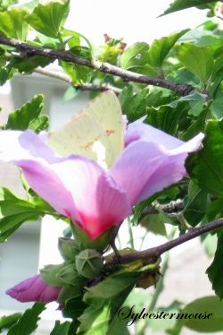 Rose of Sharon and Yellow Butterfly Photo by Sylvestermouse