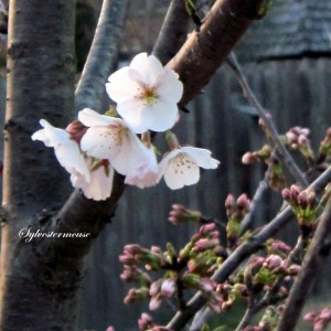 Yoshino Cherry Tree Bloom