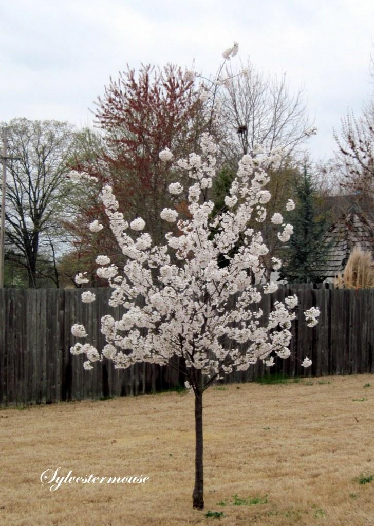 Small Yoshino Cherry Tree