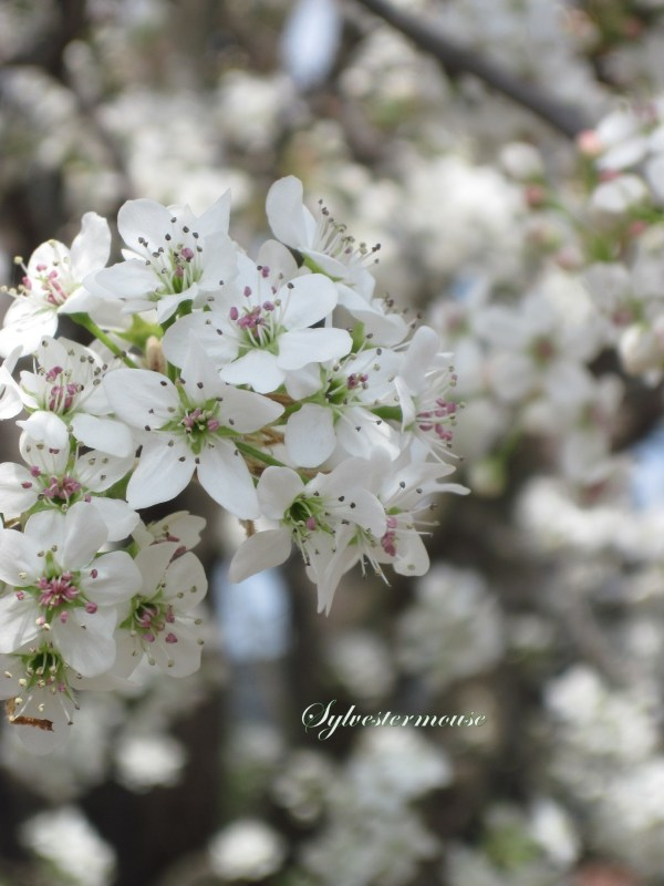 Flower Pear Tree Blossoms