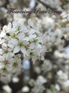 Flowering Pear Trees