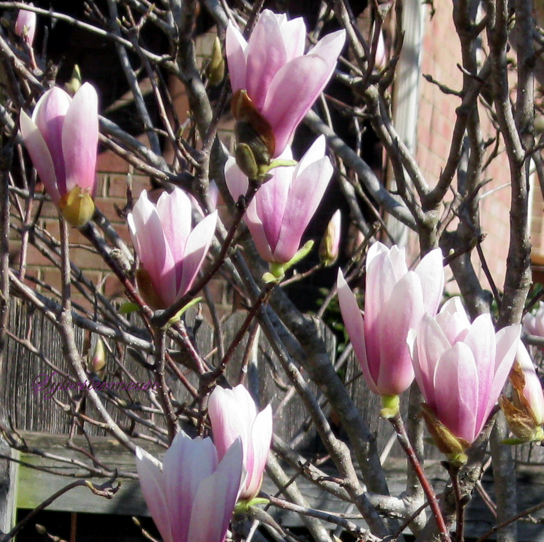Jane Magnolia tree pink blooms