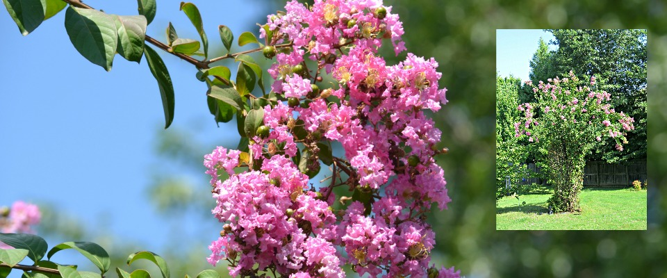 Crepe Myrtles are Easy and Beautiful Bushes & Trees