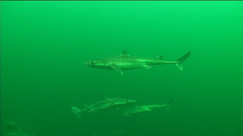 More of the dogfish gathering in groups