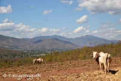 Mae Hong Son Loop Cows