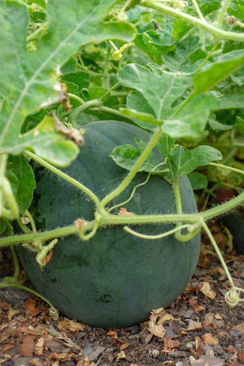 Watermelon in the garden