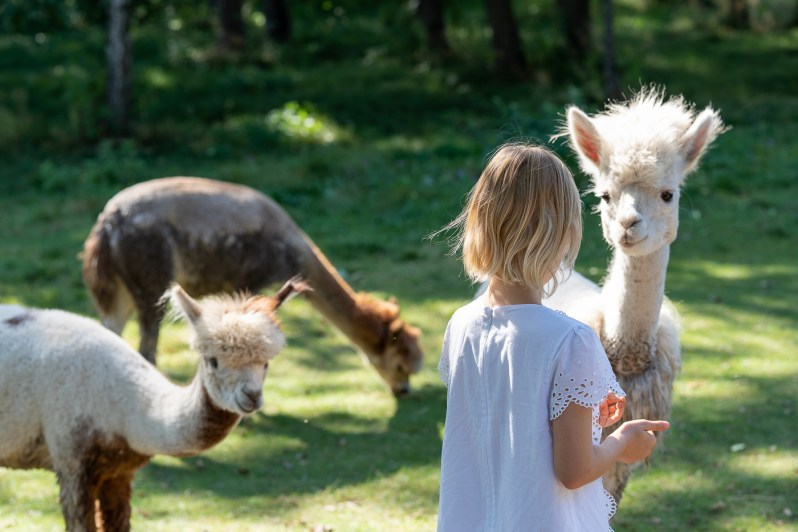 Alpacas' farm
