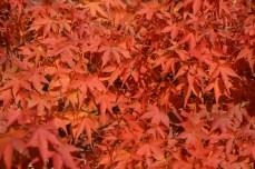 鶴見緑地の紅葉2014その33