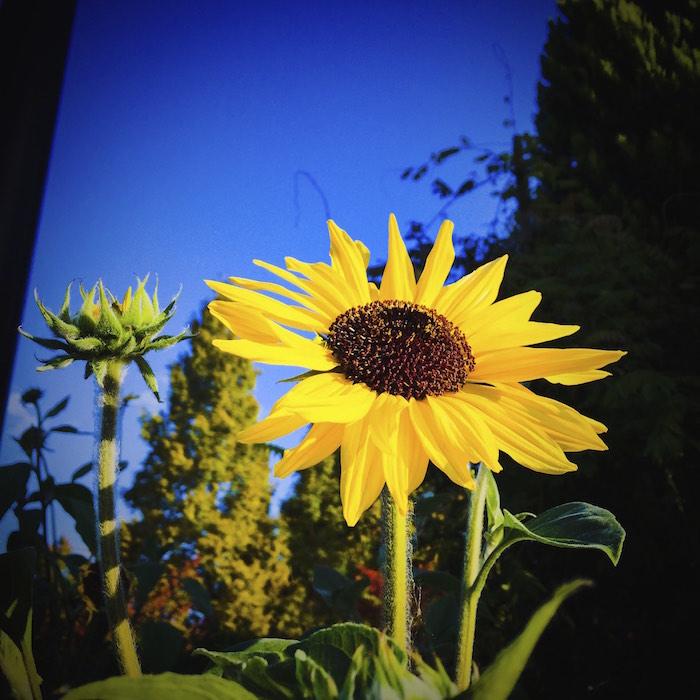 今朝の向日葵