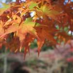 奈良公園の紅葉 2014