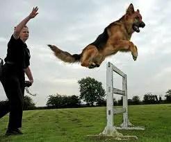 Image result for german shepherd police dog