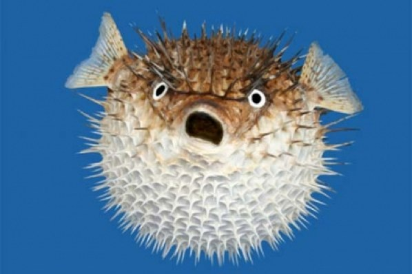 Top 10 Mot Dangerous Fish: Blowfish