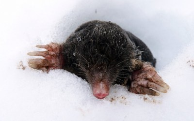 Are moles active during Winter?
