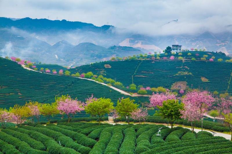 China tea tours