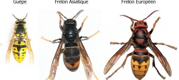 Difference entre frelon asiatique et europeen