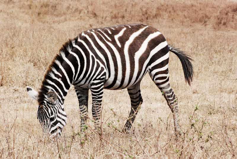 Zebra-a-Ngorongoro